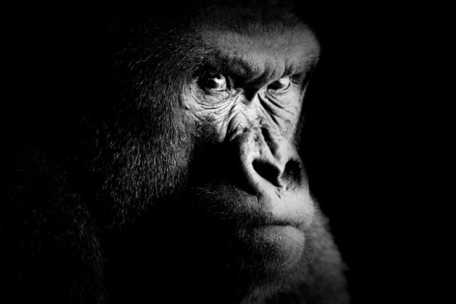 Fine art portrait of a gorilla
